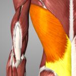 image of latissumus dorsi muscle