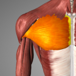 image of pectoralis major muscle