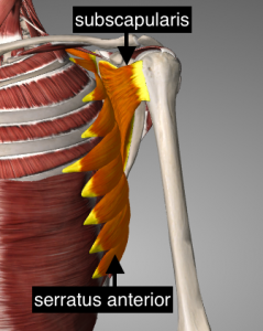image of serratus anterior and subscapularis muscles